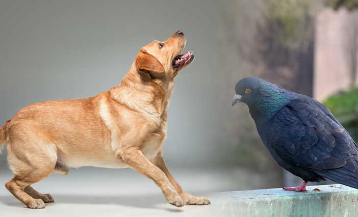 Catch Pigeons for Dog Training