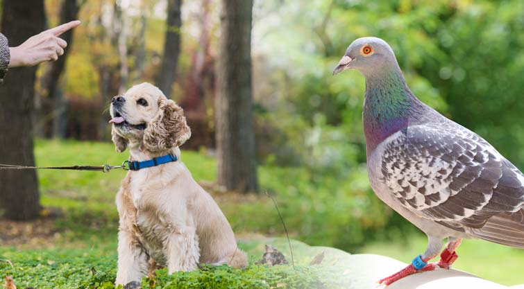 How To Catch Pigeons For Dog Training?