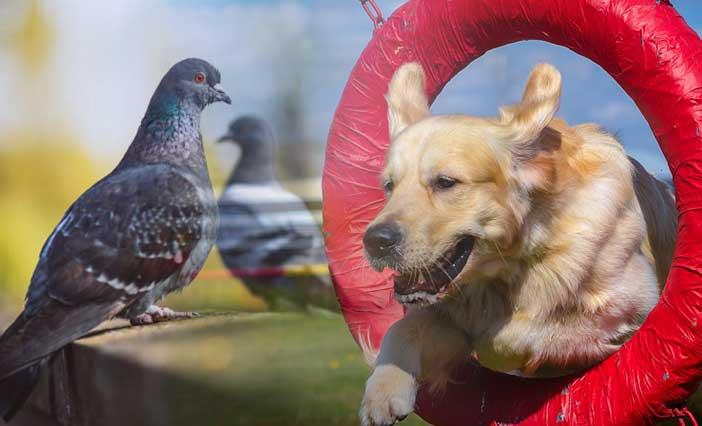 Pigeons For Dog Training